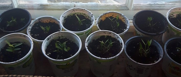 Jalapeno seedlings growing in red cups on window sill