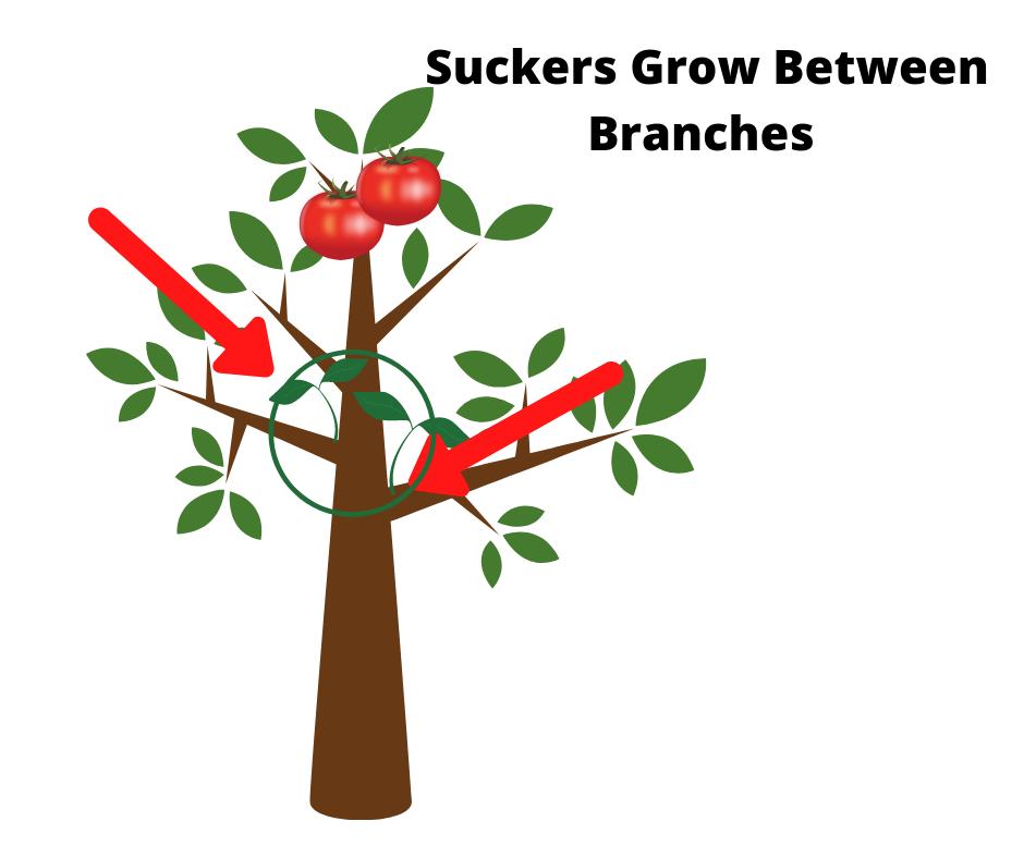 picture of suckers growing between branches