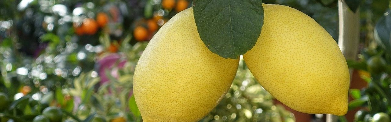 Growing lemons in containers