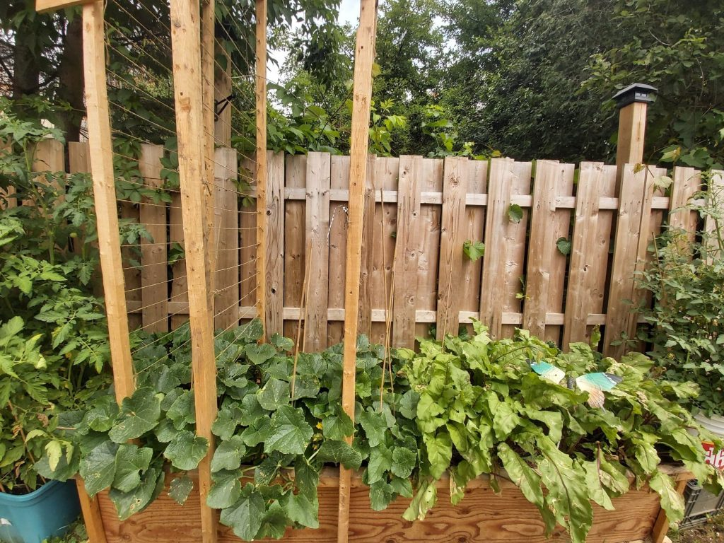 Pickling cucumbers growing beside beets in a very large wood container