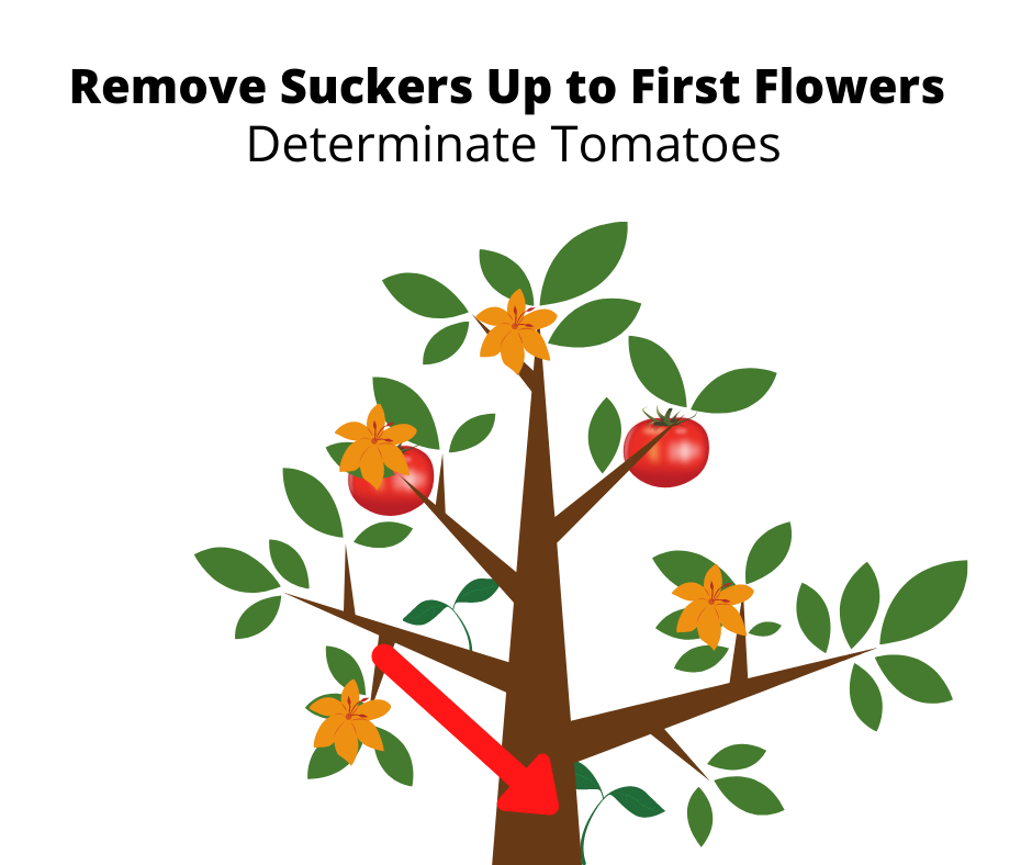 Suckers Growing on tomato plant and where to remove them