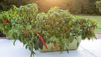 Cayenne Peppers growing in a container