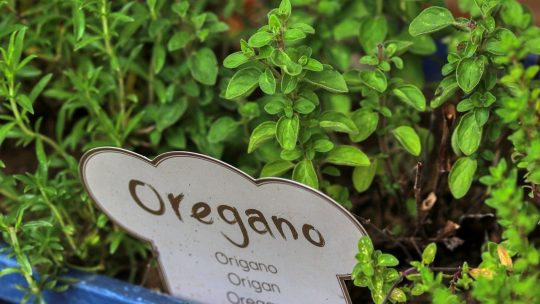 Oregano plant in containers