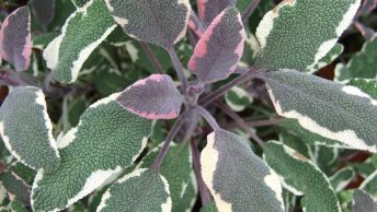 Stunning Purple and Green Sage Plant