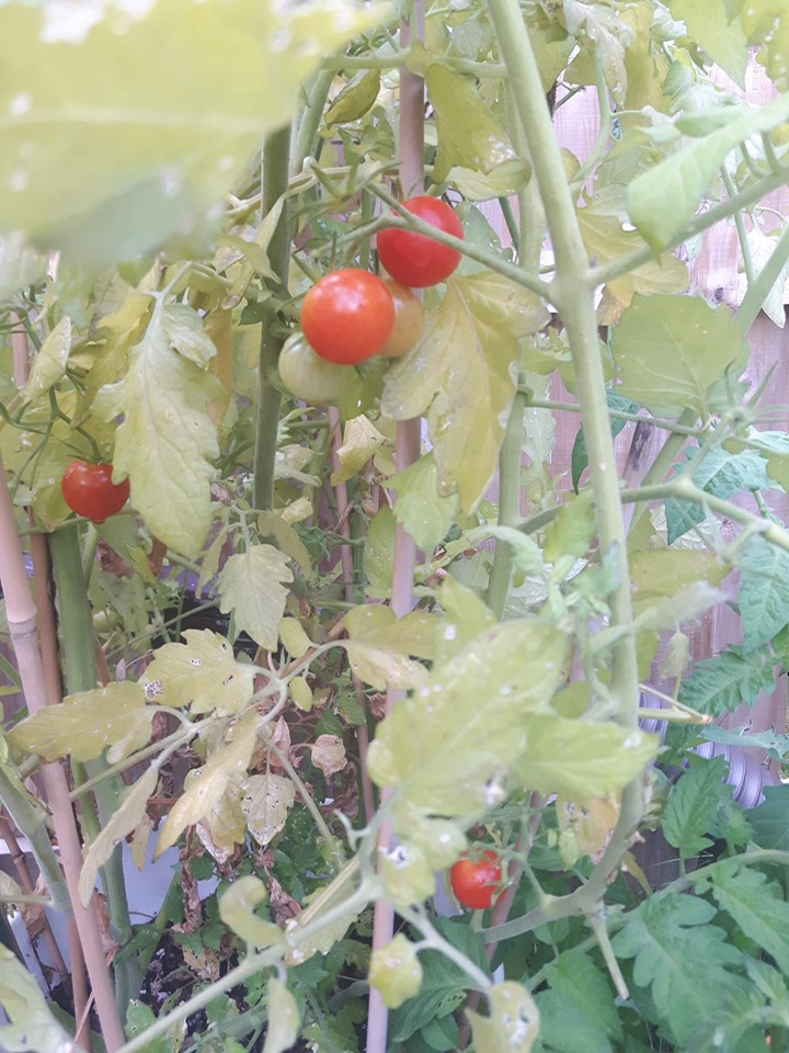 Grape Tomatoes in a pot