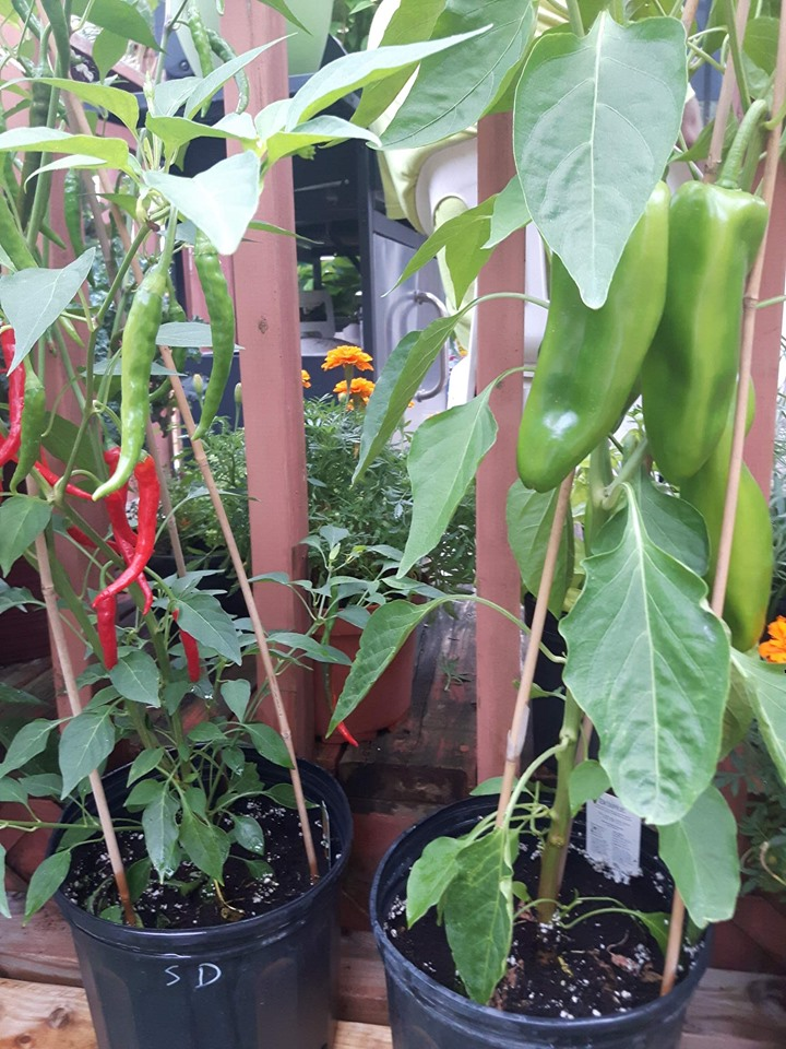 cayenne peppers red and green growing in pot beside banana peppers.