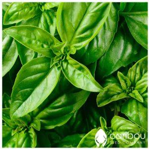 Caribou Seed Company: Organic GENOVESE Basil (Herb) - Pesto, Salad, Pizza - 100+ Seeds, Fresh Canadian Seed