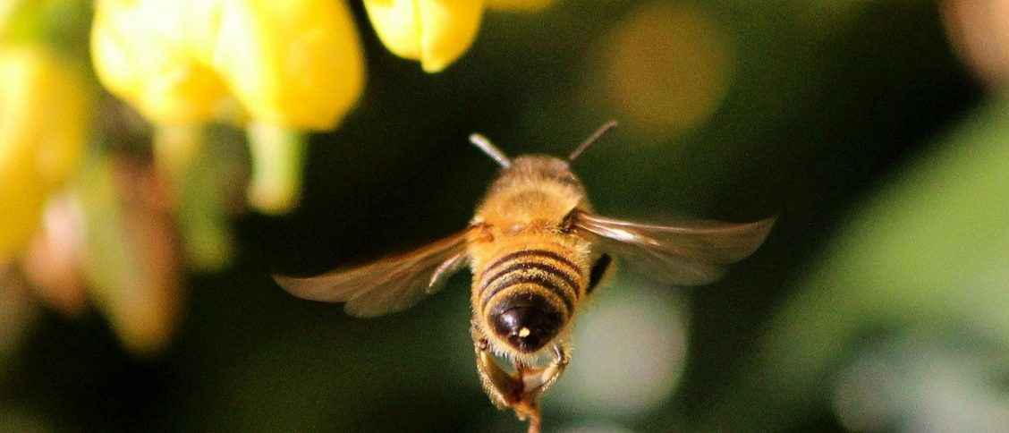 bee flying toward a flower close up