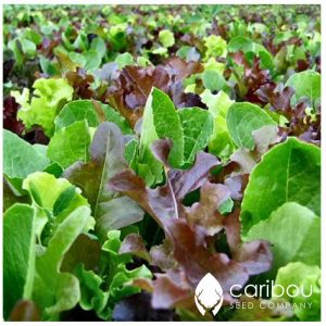 Caribou Seed Company: 'MESCLUN Mix' Lettuce - 50 Seeds - Fresh, Organic, Canadian Seed (Vegetable)