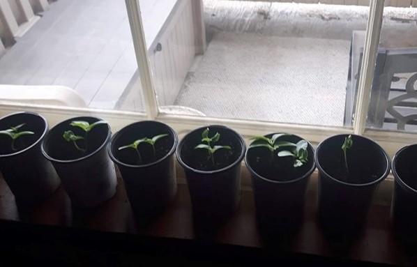 Cucumber seedlings growing in window sill