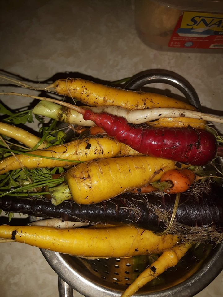 freshly harvested rainbow carrots in a strainer
