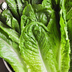 Caribou Seed Company: Romaine Lettuce 'Parris Island' *50-60 Seeds* Fresh Heirloom & Organic Seed - Canadian Seed
