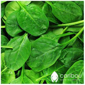 "Caribou Seed Company: 'Mouflon"" Spinach *40-50 Seeds* Fresh Heirloom & Organic Seed - Canadian Seed"